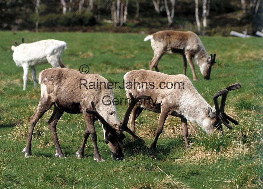 weden, Reindeer (Rangifer tarandus) | Schweden, Rentiere (Rangifer tarandus)
