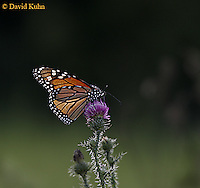 0813-06xx Monarch Butterfly - adult on thistle - Danaus plexippus