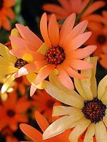 Intertwined desert daisies
