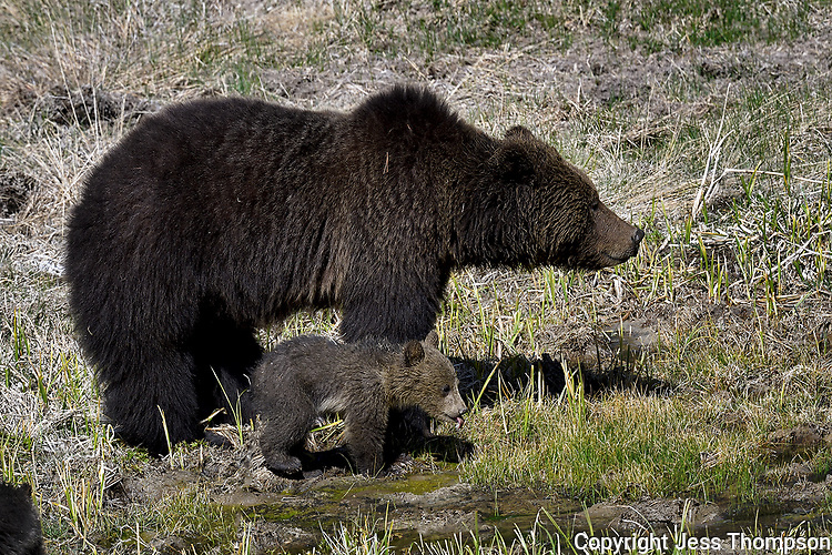 Grizzly Mom and Cub, Yellowstone