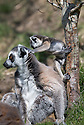 16/05/16<br /> <br /> &quot;Go on, don't be scared, up you go&quot;<br /> <br /> Three baby ring-tail lemurs began climbing lessons for the first time today. The four-week-old babies, born days apart from one another, were reluctant to leave their mothers&rsquo; backs to start with but after encouragement from their doting parents they were soon scaling rocks and trees in their enclosure. One of the youngsters even swung from a branch one-handed, at Peak Wildlife Park in the Staffordshire Peak District. The lesson was brief and the adorable babies soon returned to their mums for snacks and cuddles in the sunshine.<br /> All Rights Reserved F Stop Press Ltd +44 (0)1335 418365