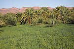 Date palm trees and wheat crop growing on fertile land irrigated by the Draa River, Morocco, north Africa