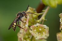 Wespenbiene, Kuckucksbiene, Wespen-Biene, Kuckucks-Biene, Nomada spec., cuckoo bee, cuckoo-bee, Wespenbienen, Kuckucksbienen, cuckoo bees, cuckoo-bees, Blütenbesuch an Rote Johannisbeere, Ribes rubrum
