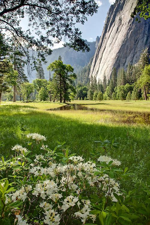 Mountain Azaleas Bloom beneath the Granite Walls of Yosemite Valley,California