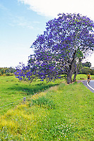 Bicyclist passing jacaranda tree, Haleakala Crater, Upcountry Maui