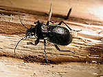 Ground beetle Carabus serratus