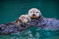 Two Sea Otters (Enhydra lutris)--often hold on to each other while resting (often called rafting).