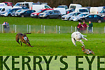 Lixnaw Coursing Club 86th Annual Meeting at Granshagh, Ballinclogher on Sunday <br /> <br /> Maggies Dan (red collar) and Simtam (white collar) who went on to win the Mickey Murphy Memorial Cup sponsored by the Murphy Family, Lixnaw.
