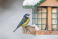 Blaumeise, an der Vogelfütterung, Winterfütterung, Winter, Schnee, Fettfutter, Energieblock, Energiekuchen, Blau-Meise, Meise, Meisen, Cyanistes caeruleus, Parus caeruleus, blue tit, tit, tits, La Mésange bleue