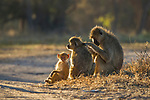 Yellow Baboon (Papio cynocephalus) male grooming female with young, Kafue National Park, Zambia