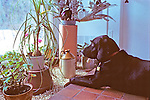 Black Lab Looking Out Window