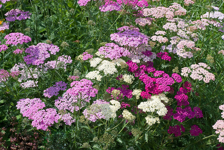 Achillea Summer Berries mixture, yarrow, perennial flowers in pinks, white,, lavender, red