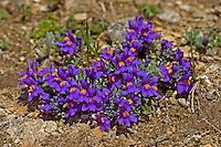 Alpen-Leinkraut, Stein-Leinkraut, Alpenleinkraut, Linaria alpina, Alpine Toadflax, Linaire des Alpes
