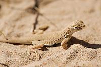 Mojave Fringe-Toed lizard - Uma scoparia, Kelso dunes, Mojave national preserve, California