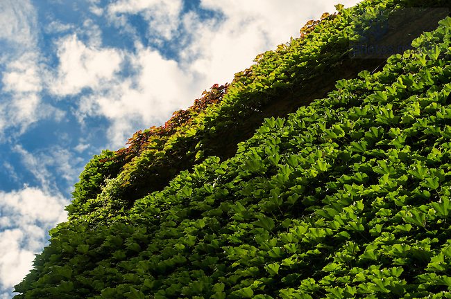 Sept 25, 2014; Ivy on the wall of the Snite Museum of Art. (Photo by Barbara Johnston/University of Notre Dame)