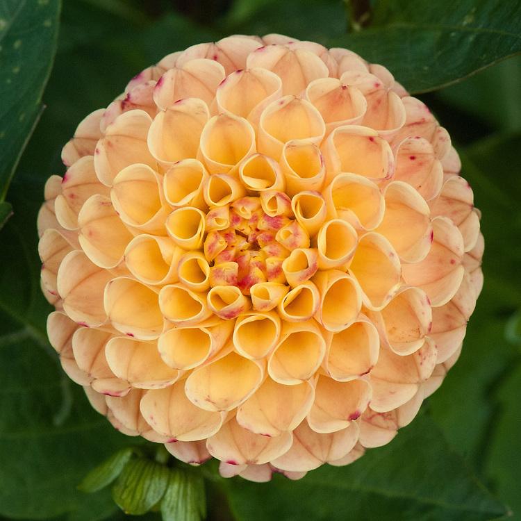 Dahlia 'Jodie Wilkinson', early September. An orange Small Ball, Pompom or Pompon Group dahlia.