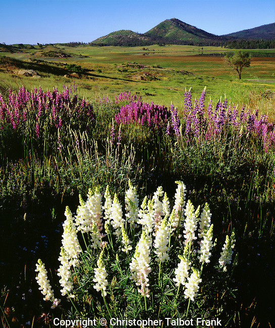 USA, California, Cuyamaca Rancho State Park, San Diego.  Rare Albino Lupine Wildflowers after the Cedar Fire and record rains.