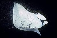 reef manta ray, feeding on plankton at night, Manta alfredi, Kona, Big Island, Hawaii, USA, Pacific Ocean