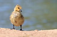 Canada Goose (Branta canadensis moffitti) downy chick at the edge of a pond at Floyd Lamb Park in Las Vegas, Nevada.