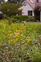 Pennsylvania meadow garden lawn substitute insectary for beneficial insects with Monarda, Yellow Cone flower (Ratibida pinnata), and Canadian wild rye grass