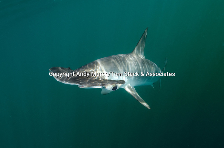 Smooth Hammerhead, Shark Sphyrna zygaena. Sea of Cortez, La Paz, Baja California Sur, Mexico.