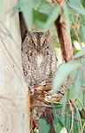 Scoops Owl, Otus scops, Kalloni, Lesvos Island, Greece, hidden perched on branch behind leaves, camouflaged, daytime , lesbos