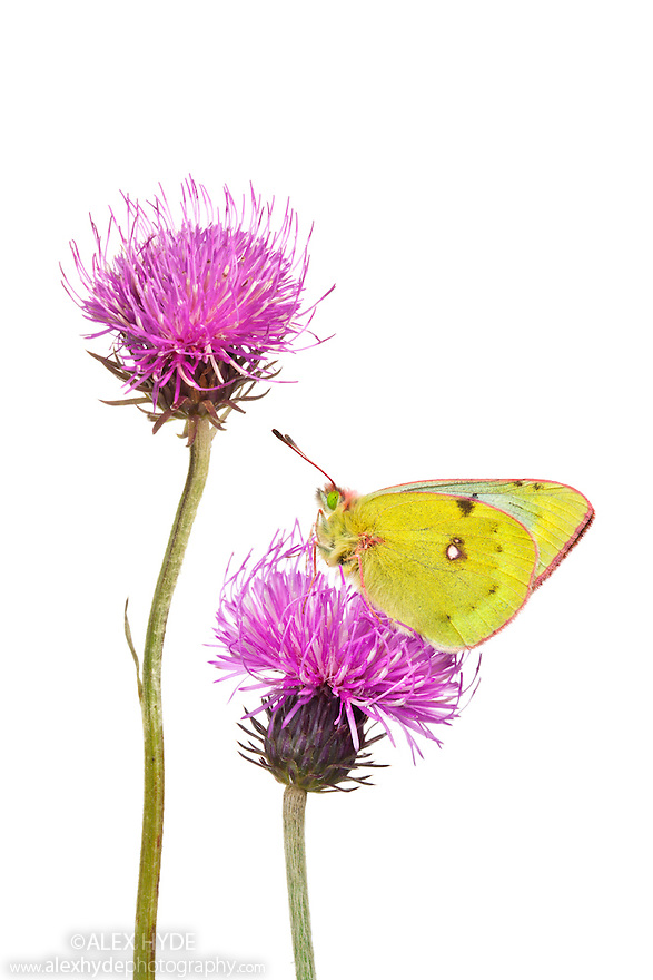 Mountain Clouded Yellow butterfly {Colias phicomone} on Tuberous Thistle {Cirsium tuberosum}. Photographed outdoors in meadow habitat with a white background. Nordtirol, Tirol, Austian Alps, Austria. August.
