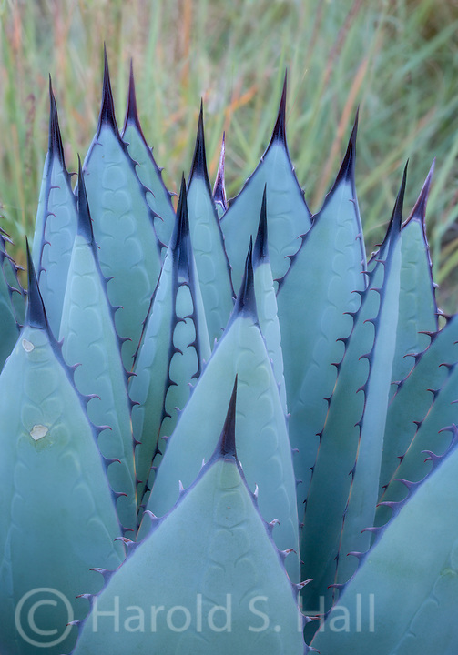 The agave plant has very stout rigid leaves.