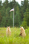 These two brown bears appear to be pledging allegiance to the flag, in Lake Clark National Park, Alaska, USA.  Photo by Gus Curtis.