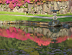 Seattle, WA<br /> Evergreen azaleas blooming on stone wall with lantern and lake reflections in the Japanese Garden, Washington Park Arboretum