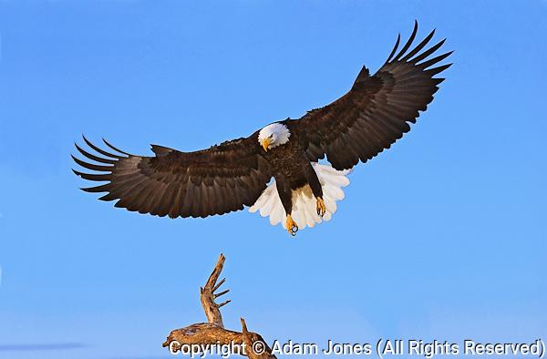 Bald Eagle landing, Haliaetus leucocephalus, Homer, Alaska