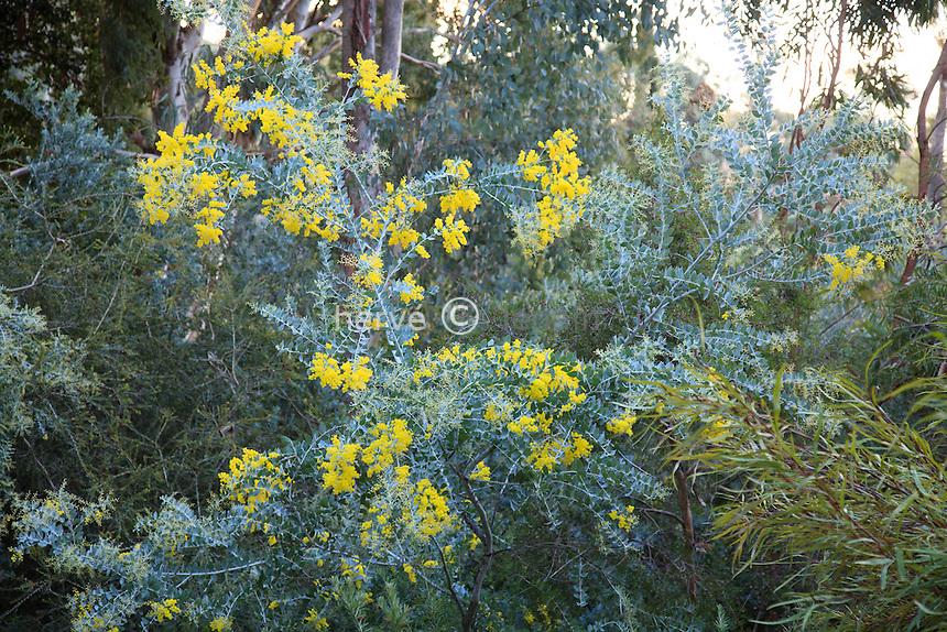 Domaine du Rayol en novembre : jardin australien, Acacia podalyriifolia en fleurs. // Acacia podalyriifolia, Queensland silver wattle.