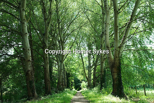 Ankerwycke near Wrasbury Berkshire. Avenue of trees leading to the Ankerwycke ancient yew tree and St Marys Priory.  HOMER SYKES