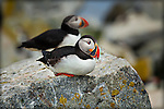 Two Puffins, one in focus,sitting on a rock