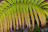 Close-up of 'ama'u fern frond at Hawai'i Volcanoes National Park, Big Island.