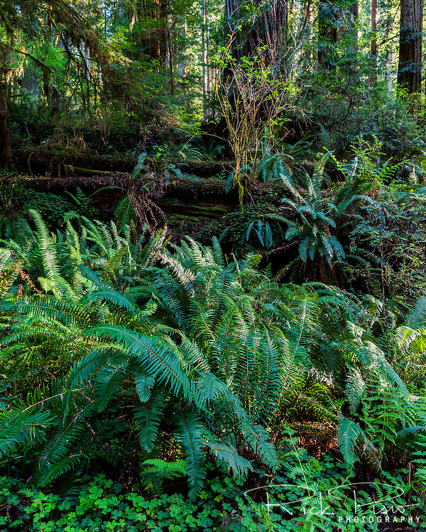 Ferns and a fallen redwood tree at Prairie Creek Redwoods near Orick, California.