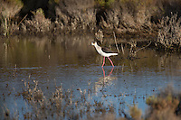 Stelzenläufer, Stelzen-Läufer, Himantopus himantopus, black-winged stilt, Common Stilt