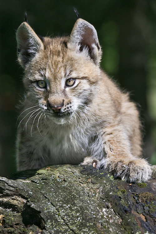 Siberian Lynx peering over the top of a log - CA
