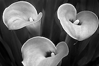 Close up of calla Lily flowers. Oregon