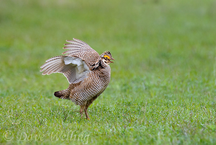 572110182 a wild male lesser prairie chicken tympanuchus pallidicintus an endangered species displays and struts on a lek on a remote ranch near canadian in the texas panhandle