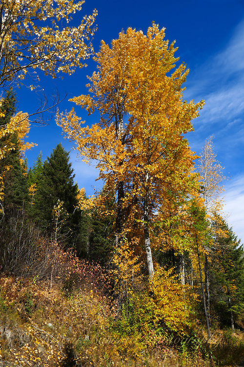 Cottonwood trees displaying vibrant golden color against a deep blue sky.
