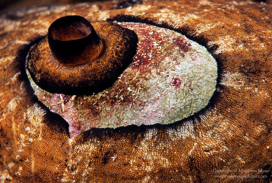 Santa Cruz Island, Channel Islands National Park and National Marine Sanctuary, California; detail view of a Giant Keyhole Limpet (Megathura crenulata) , Copyright © Matthew Meier, matthewmeierphoto.com All Rights Reserved