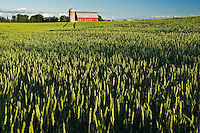 wheat field and red barn<br /> Carleton Place<br /> Ontario<br /> Canada