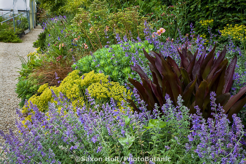 Perennial border with Nepeta mussinii, Eucomis 'Sparkling Burgundy', Euphorbia 'Dean's Hybrid, Sedum 'Autumn Joy', Digging Dog Nursery