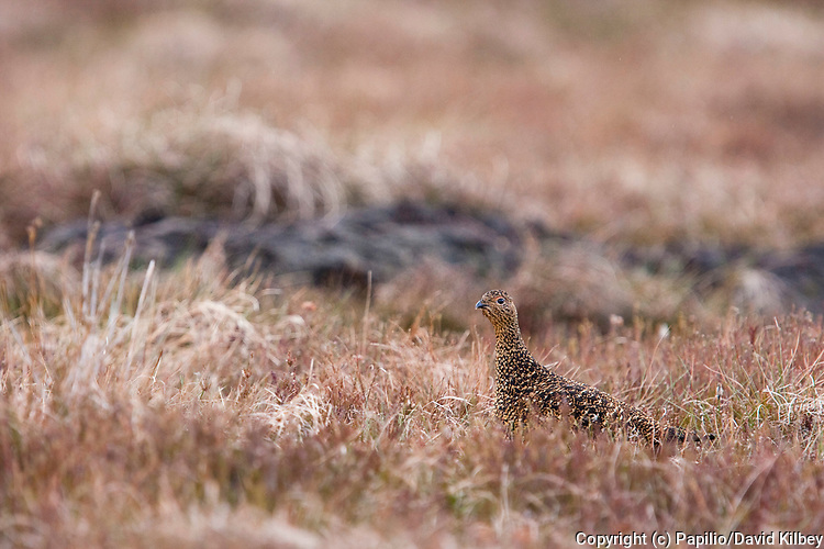 Red grouse, Lagopus lagopus scoticus, Single adult female camouflaged on moorland, Cairngorms, Scotland, UK