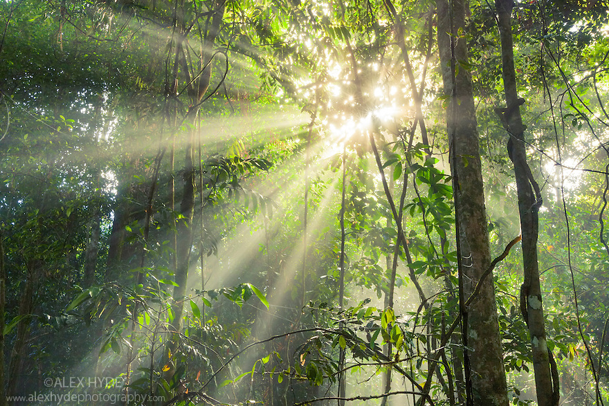 Sunbeams penetrating dense tropical rainforest inside the Maliau Basin. Sabah, Borneo, Malaysia.