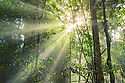 Sunbeams penetrating dense tropical rainforest inside the Maliau Basin. Sabah, Borneo, Malaysia.
