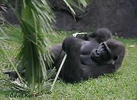 0210-08yy  Western Lowland Gorilla, Gorilla gorilla gorilla © David Kuhn/Dwight Kuhn Photography