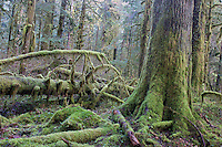 Old growth forest; Baker River; Cascade Mtns.; Mt. Baker-Snoqualmie NF