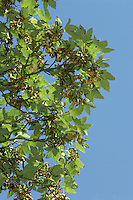 Sycamore Acer pseudoplatanus Aceraceae Height to 35m <br /> Vigorous, spreading deciduous tree. Bark Greyish, fissured and flaking. Branches Thick, with grey-green twigs and reddish buds. Leaves To 15cm long, with 5 toothed lobes. Reproductive parts Flowers in pendulous, yellow clusters, to 12cm long. Paired wings of fruits spread acutely, curve in slightly towards tip. Status Introduced, widely planted and naturalised.